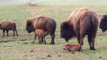 Bison Nachwuchs: Willkommen auf der Bison Ranch