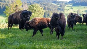 National Bison Day in den USA